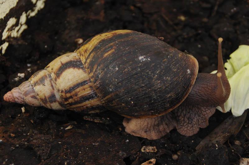Achatina albopicta