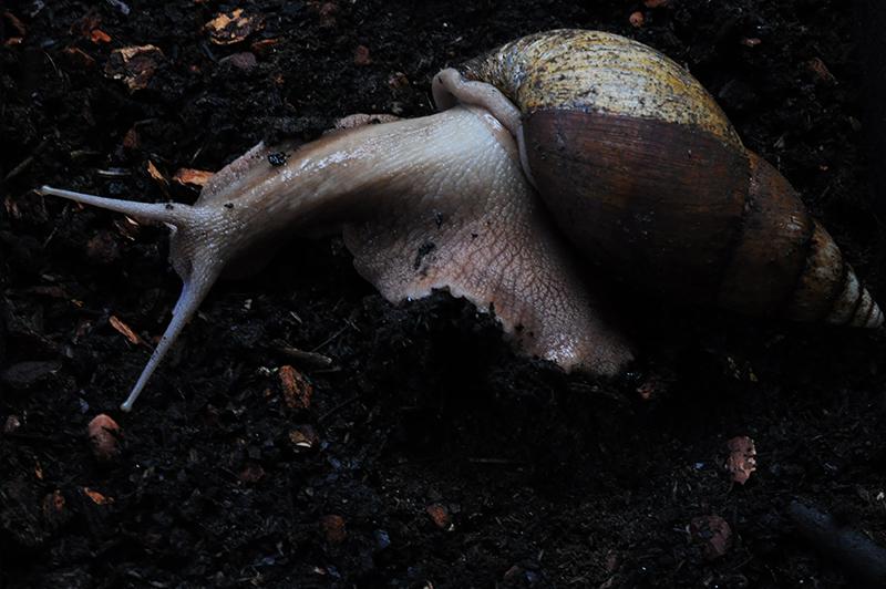 Achatina bandeirana