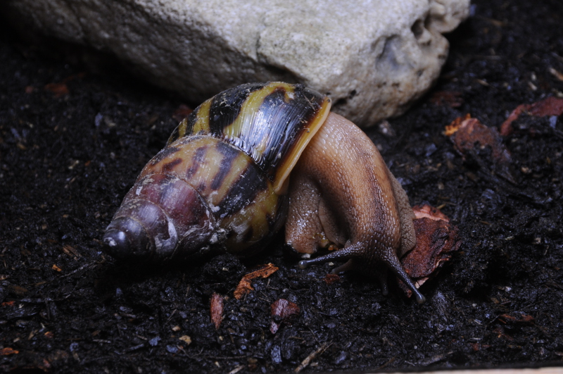 Achatina tincta